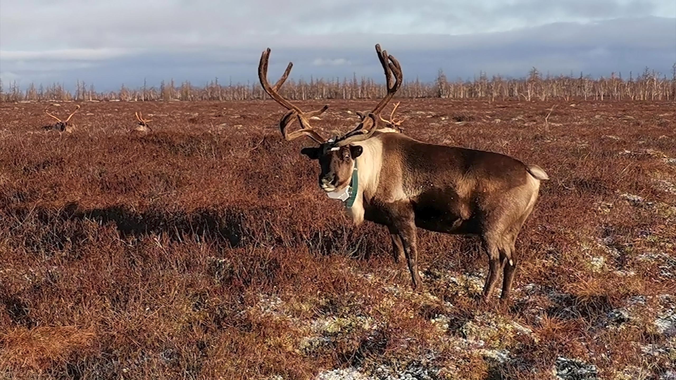 На шаг впереди: кочевники Тазовского района отслеживают оленей с помощью GPS-ошейников